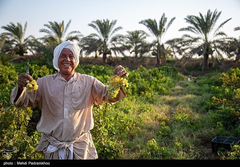 برداشت انگور از تاکستان های غزاویه