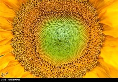 """حقول """"دوار الشمس"""" فی کرمانشاه..لوحة ساحرة"""