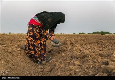 کاشت لوبیا درروستای کریم خلف حمیدیه - خوزستان