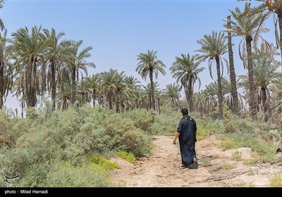 نخلهای شهر خنافره شادگان در آستانه نابودی