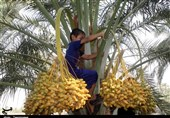 برداشت محصول نخل «رطب و خارک» در استان بوشهر به روایت تصویر