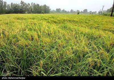 خسارت باران به شالیزارهای برنج