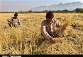 تازیانه خشکسالی بر تن خوشههای طلایی/ تولید گندم لرستان نصف شد+تصاویر