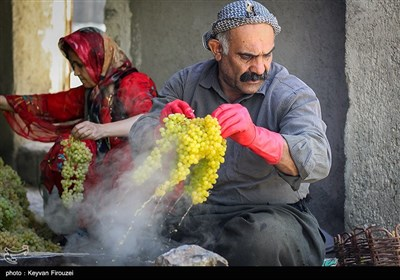 کشمش گیری سنتی بولاو در دولاب- کردستان