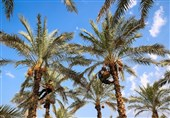 تولیدکنندگان خرما در بوشهر نگران آینده وضعیت فروش/ آیا دست دلالان از بازار کوتاه میشود؟