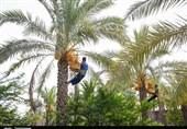 155 هزار تن محصول از نخیلات استان بوشهر برداشت شد