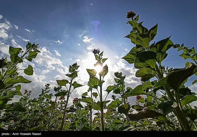 مزارع گل آفتابگردان در تاکستان قزوین