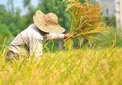 ۵ تن برنج طارم در بورس کالا عرضه شد