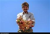 برداشت پسته مرغوب از باغات اطراف دریاچه ارومیه در آذربایجان شرقی به روایت تصویر