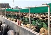 محموله بزرگ دام قاچاق در آبهای جزیره کیش توقیف شد