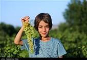 نماینده مردم بجنورد در مجلس: توجه به زنجیره تولید انگور خراسان شمالی سالها مغفول مانده است