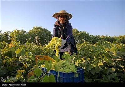 İran Melayir'de Üzüm Böyle Toplanır Ve Kurtulur