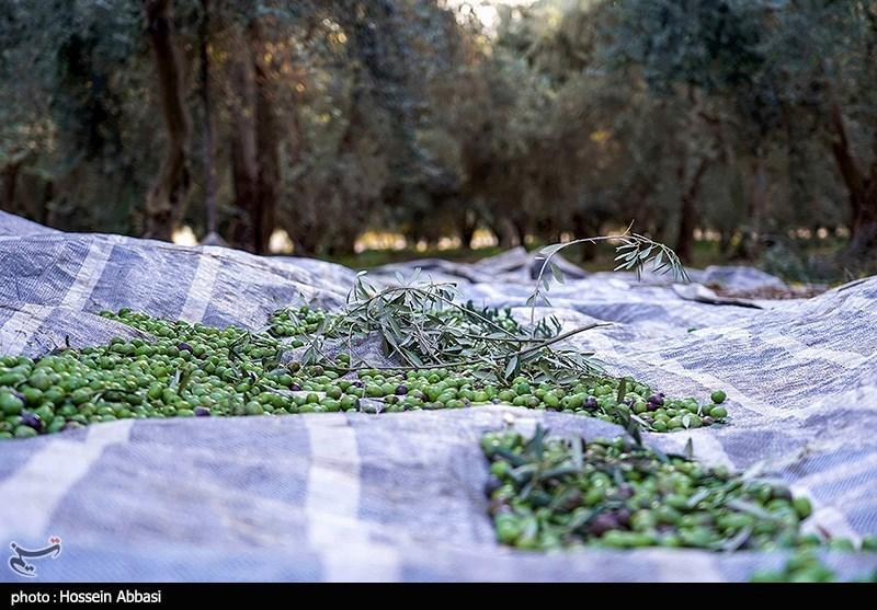 برداشت زیتون در زنجان