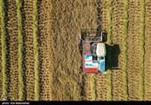 هجوم «شبپره» به مزارع برنج شمال؛ کشت دوم در معرض آسیب