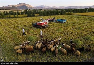 برداشت برنج در خرم آباد