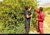 """حضور گسترده دلالها در باغهای """"چرام"""" کام تولیدکنندگان لیمو را تلخ کرده است + فیلم"""