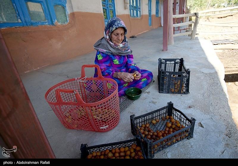 جشنواره برداشت آلو در روستای حیدره قاضی خانی همدان