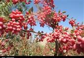 سرمازدگی به باغات زرشک در خراسان جنوبی خسارت وارد کرد