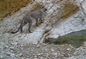 تصویر یک قلاده پلنگ ایرانی در منطقه حفاظت شده استان بوشهر ثبت شد