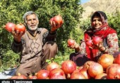 یاقوت سرخ کیمیایی برای اشتغال لرستان/ انار کوهدشت ظرفیت حضور در بازارهای جهانی را دارد + فیلم