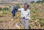 دسترنج انگورکاران کردستان در جیب دلالان؛ کام انگورکاران تلخ شد+ تصویر