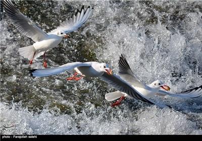 مهاجرت پرندگان از سیبری به رودخانه <font style=